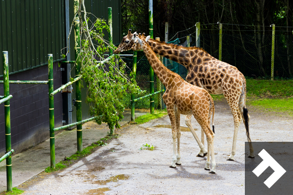 Family Fun Days - Blackpool Zoo - Giraffes