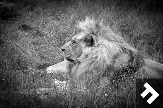 Family Fun Days - Blackpool Zoo - Lion
