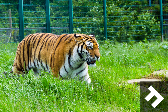 Family Fun Days - Blackpool Zoo - Tiger