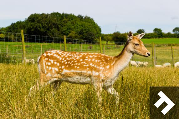 Fun At Whitehouse Farm - Deer