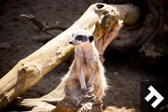 Fun At Whitehouse Farm - Meerkat